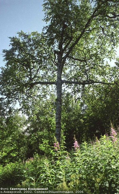 A tree has grown in a form of a Cross (at the Solovki Monastery Island)