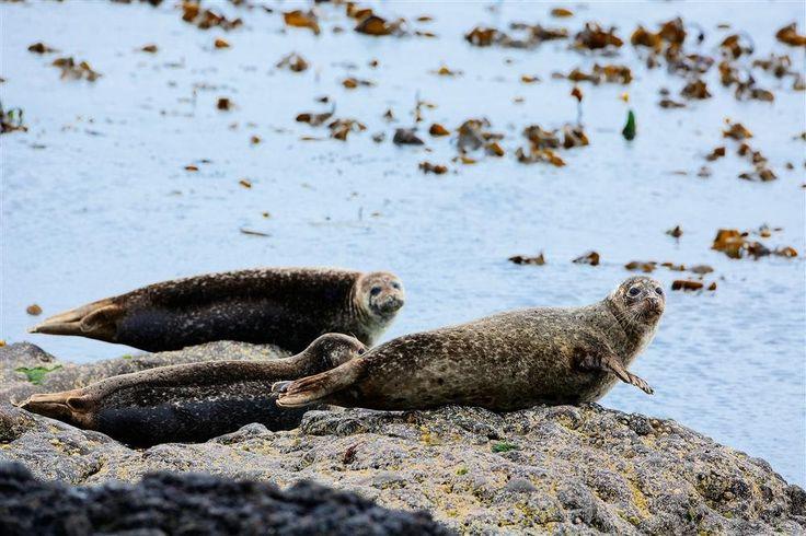 Las Islas Shetland, el reino del silencio y la naturaleza · Fauna marina  Las Shetland son un paraíso para la observación de la fauna marina que habita en el norte de Europa. Lo que más abundan son las aves –de las 24 especies que anidan en Gran Bretaña, 21 se encuentran en estas islas–, pero también hay que estar atentos a sus aguas donde suelen nadar nutrias, focas, orcas y otros cetáceos.