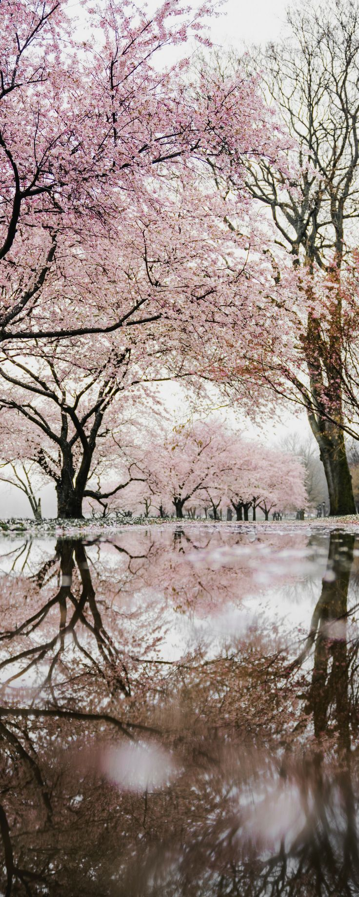 Cherry Blossoms in DC! 11 of the Best Things to do in Washington DC!  Washington DC is such an amazing USA travel destination.  Click through to make sure you don't miss any of the best sights on your trip to Washington DC.  Washington DC travel | Avenly Lane Travel