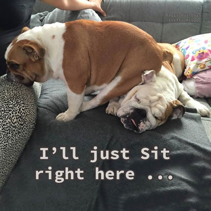 Bulldogs don't care where they sit.