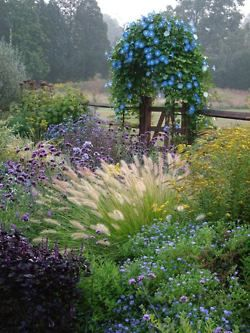 What is that blue flowering vine blooming in fall when the Pennisetum grass blooms? Morning glory maybe.