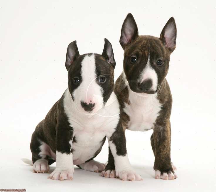 English Bullterrier Mini. Love will be one of my next dogs
