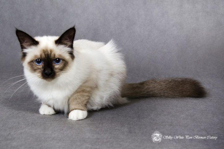Animal Bengal Kittens Brown Rosette Bengal Kittens Newborn Blue