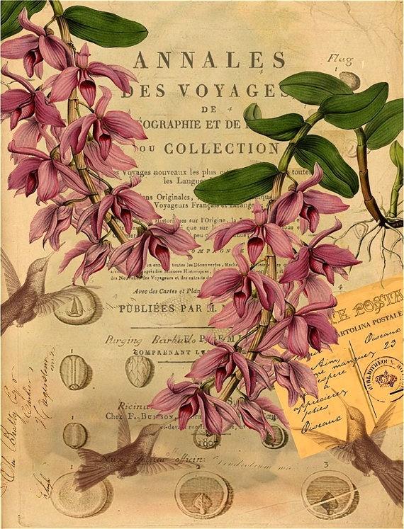 Hummingbird and French naturalist, botanical illustration...