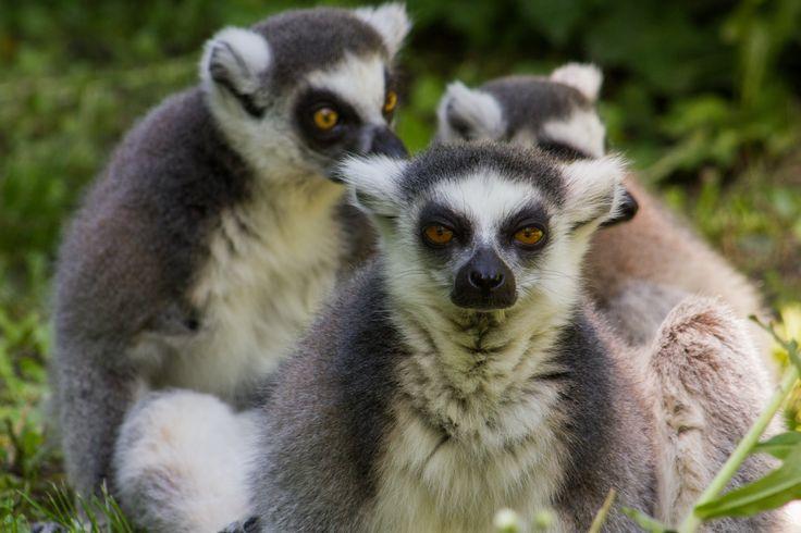 Közönséges maki. Ring-tailed lemur.