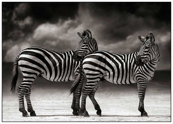 Two Zebras by Nick Brandt: Wildlife Photography