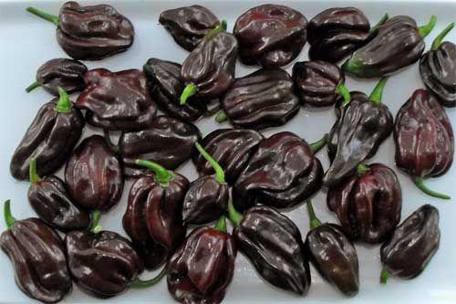 Congo Trinidad Black - Capsicum chinense - Schärfe: 10