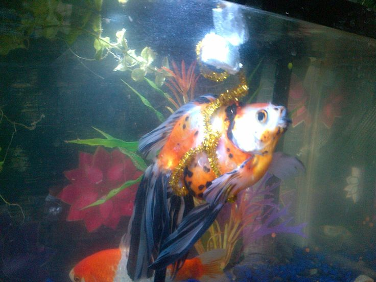 Firefly, the special needs goldfish  For eight months, our Firefly has been laying on the bottom of the tank with swim bladder disorder. He ate and pooped, but could not swim. After trying every remedy I could find, Today i made him his own flotation...