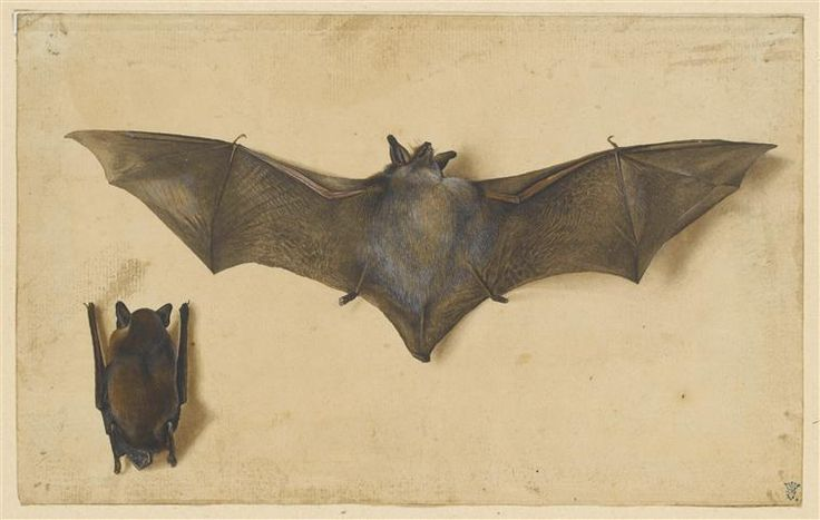 Albrecht Durer, A bat with outstretched wings, and another with wings folded…