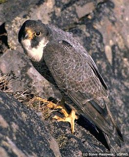 Inilah 10 Jenis Burung Tercepat Di Dunia | Burung Nusantara