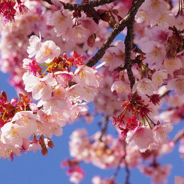 【singing_fish_99】さんのInstagramをピンしています。 《一足早い春🌸 #shizuoka #atami #itokawa #cherryblossom #sakura #atamisakura #静岡 #熱海 #糸川遊歩道 #糸川桜まつり #桜 #あたみ桜 #寒桜》