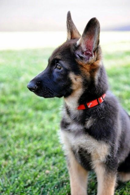 cheap german shepherd puppies best 25 german shepherd puppies ideas on pinterest dogs 9481