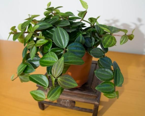 Peperomia Angulata A Succulent Like Houseplant With Thick Waxy Leaves Newer Growth Is Reddish Green And Matures To Dar Perfect Plants Peperomia House Plants