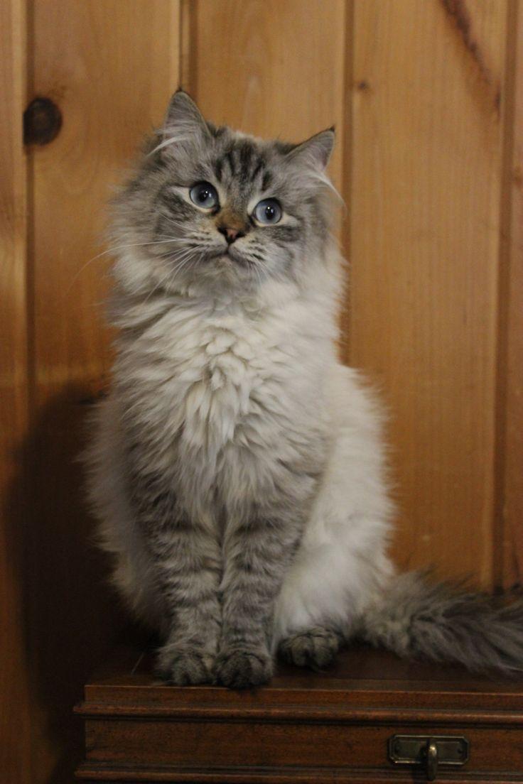 1000+ images about Hypoallergenic Kitties on Pinterest ...