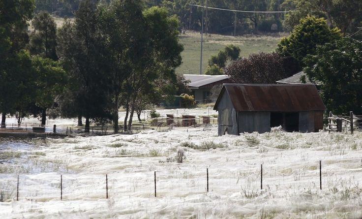THAT'S NOT SNOW!!!: Blanket, Wagga Wagga, Waggawagga, Spiderweb, Australia, House, White Stuff, Spiders Web, Wolf Spiders