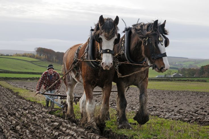 Clydesdale horses - autumn ploughing 1
