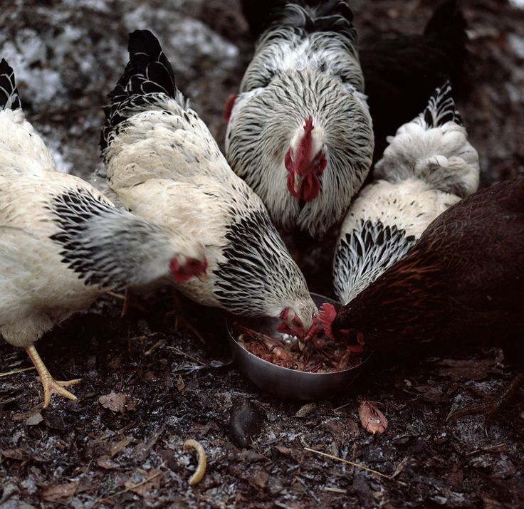 1677 Best Images About Country Farm Animals On Pinterest