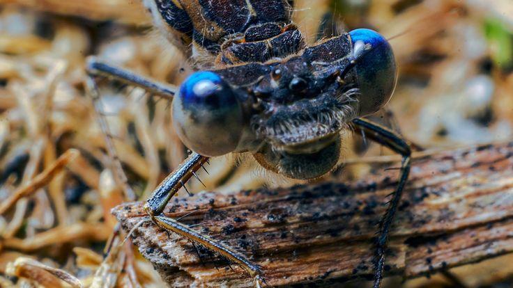 dragonfly eyes - dragonfly