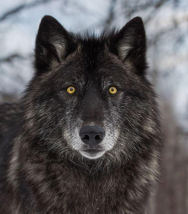 """beautiful-wildlife: """"Black Wolf Portrait by © cjm ..."""