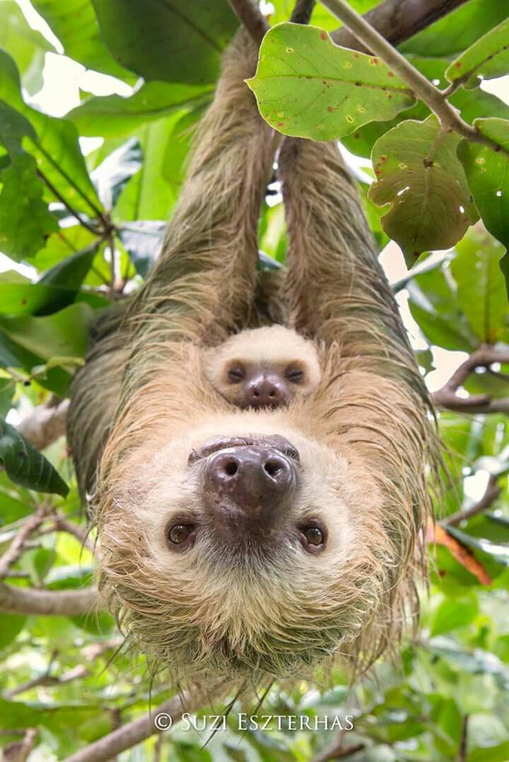 PHOTO OF THE DAY - Hoffmann's two-toed sloth hanging with two-month-old baby, Costa Rica. For the first 3-8 months of a baby sloth's life, it clings to its mother, even after it has been weaned. While holding onto her young, a female sloth will hiss and swipe their long claws at a potential predator, in order to keep her baby safe. For more information about sloths, follow the Sloth Conservation Foundation (of which I am a proud trustee) at Sloths!  or visit www.slothconservation.com.