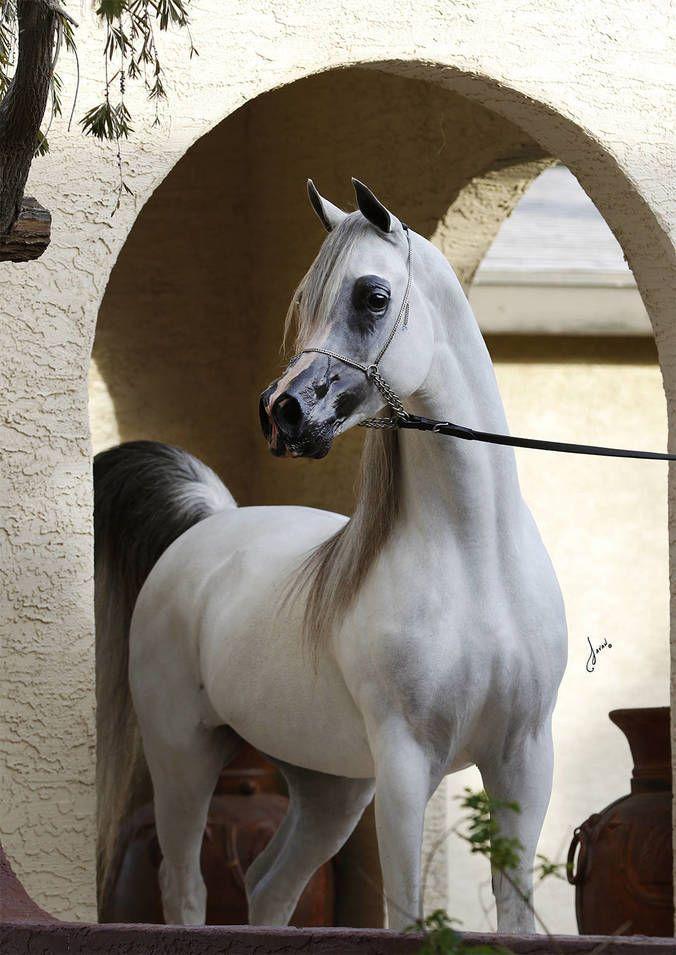 Baha AA (Al Ayad x Baraaqa AA) 2008 grey SE stallion bred by Ariela Arabians