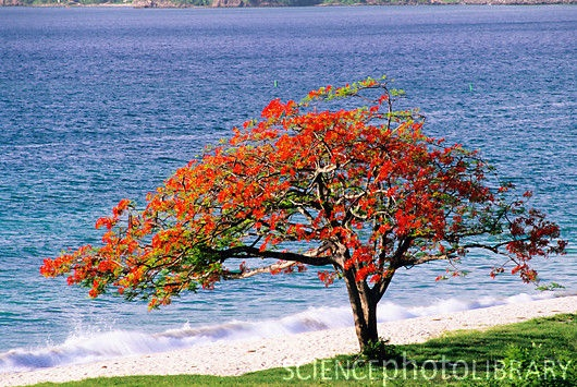 The Flamboyan is one of the most beautiful trees in Puerto Rico.