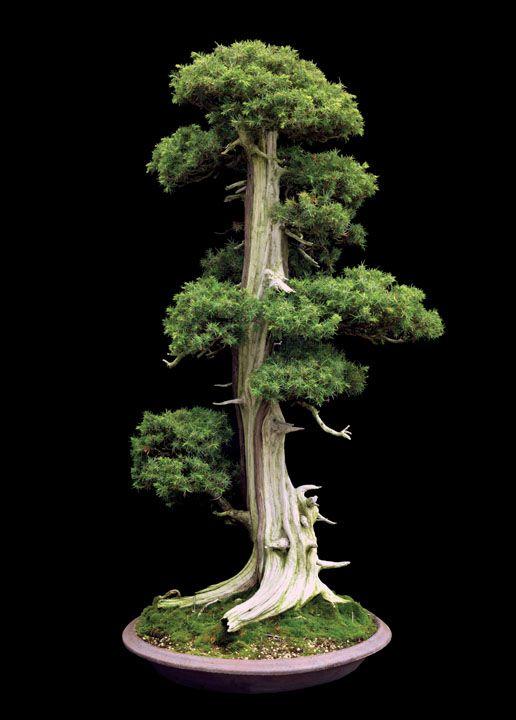 Needle Juniper from S-Cube Uchiku-Tei Bonsai Garden, Hanyu, Japan. Jonathan M. Singer/Abbeville Press