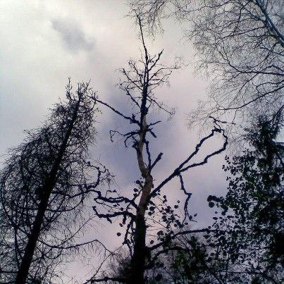 Treetops dancing. Norwegian wood 2012. Photo by Sonja Salt