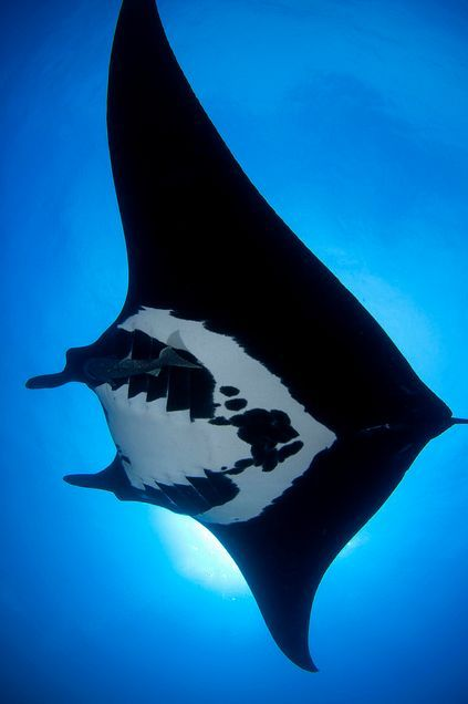 Manta ray    by Lawrence Tulissi  via Chamil Tennekoon
