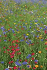 How to grow a flower meadow - including many varieties of flowers, grasses, and a hemiparasite called 'Yellow Rattle'