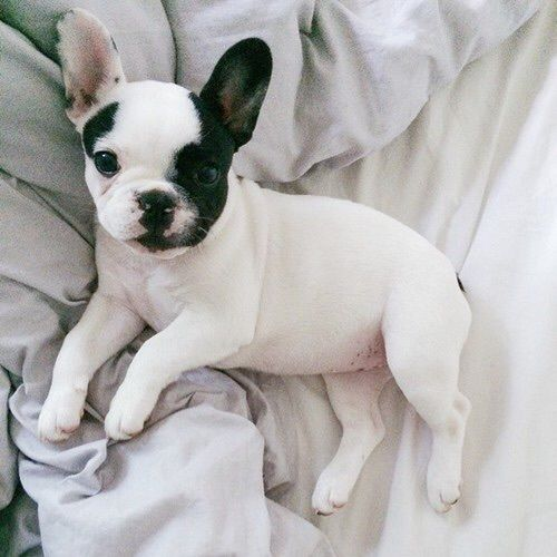 Magnificent Maggie, the French bulldog. Enjoy RushWorld boards, AWE FACTOR, BARK RUFFINGTON'S DOG KINGDOM and MOOD BUSTERS FEEL BETTER NOW. Follow RUSHWORLD on Pinterest! New content daily, always something you'll love!