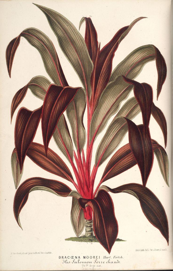 Palm Lily - Cordyline fruticosa - circa 1867