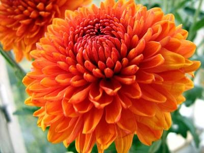Chrysanthemums are one of my favorite flowers.