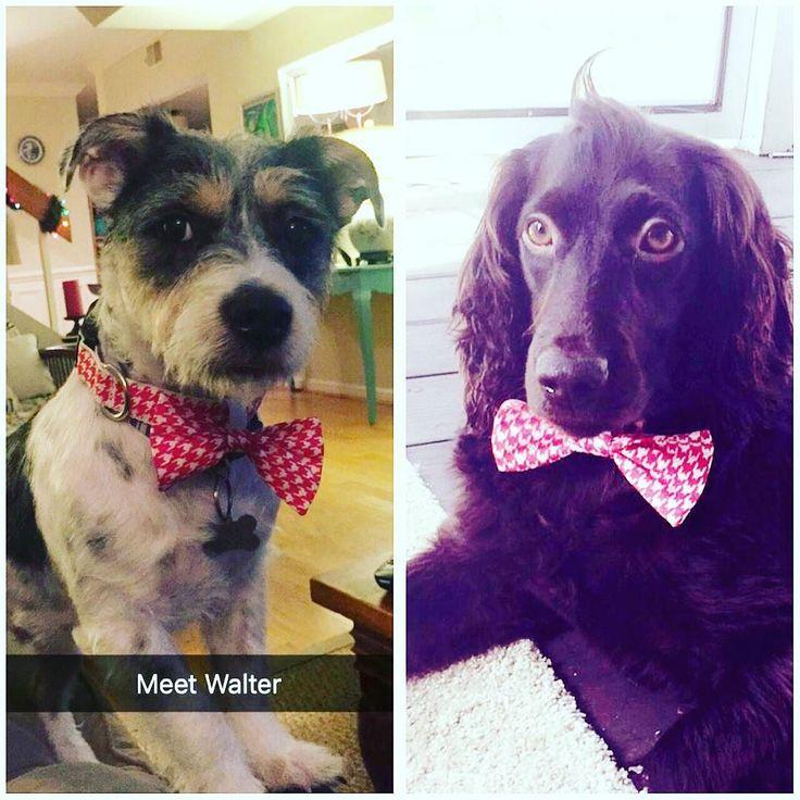 Who wore it best?? #waltervsraleigh #dogcousins #dogbowtie #dogsofinstagram #boykinspaniel #jackrussell #boykins #boykinsofinsta #jackrussellterrier #muttsofinstagram #rescuedog #dogswanttolookgoodtoo @marmar489 @bennettnotdennett @rachbarry2