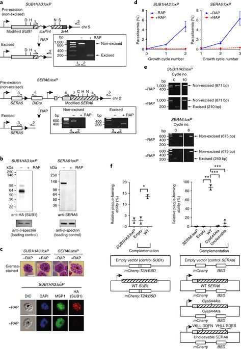 A protease cascade regulates release of the human malaria parasite Plasmodium falciparum from host red blood cells | Nature Microbiology