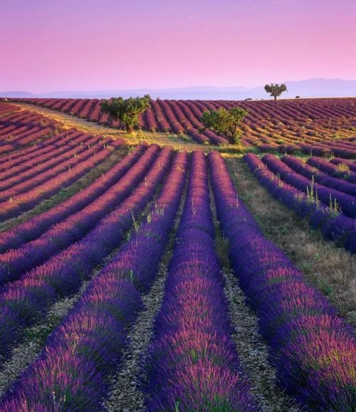 'Transient Light', fields of lavender  photo by: Ian Cameron via:thebridescafe.tumblr.com    in France