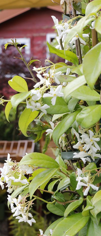 Close your eyes and travel to #Japan: feel the intense #fragrance of #jasmine. #Agricola #Nature #OrientalScent