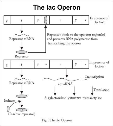 The lac Operon