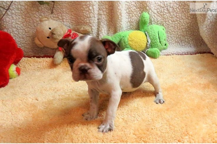Boston Terrier puppy for sale near Springfield, Missouri | 52c37222-9381