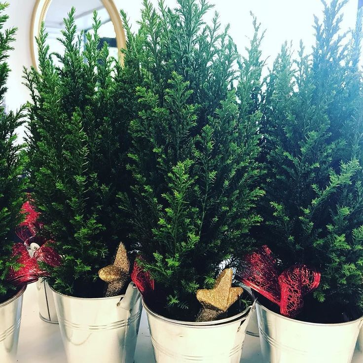 Ive got my very own little conifer forest in the shop today! #flowershop #miniforest #itsbeginningtolookalotlikechristmas #corporateflowers #tableflowers #hotelflowers #angmeringflorist #angmeringflorist #arundelflorist #angmeringvillage #arundel