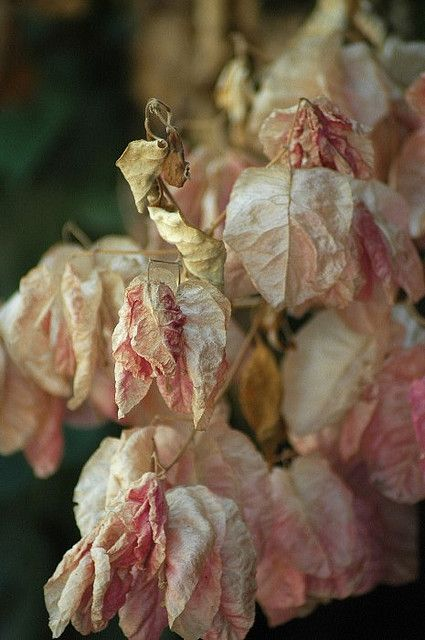How beautiful is this shade of fading, pink!* (bougainvillea)