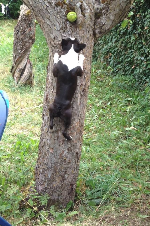 Koala terrier!!! (from Bloodastur Boston Terrier)