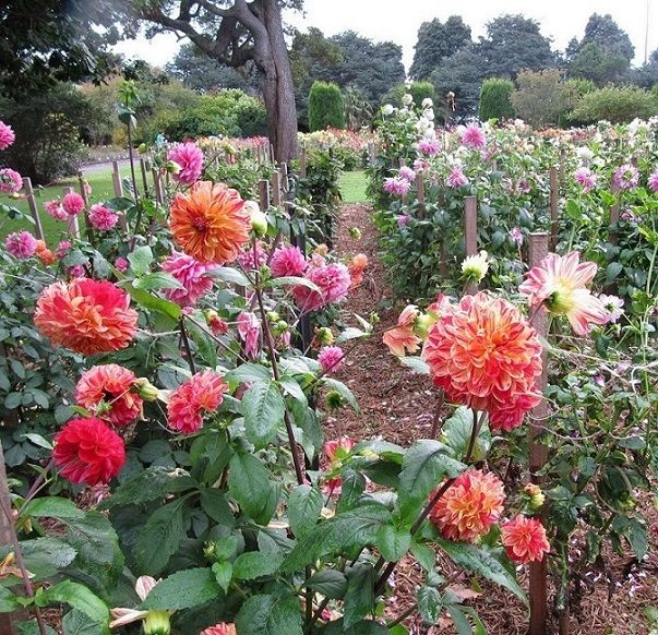 Portland Botanic Gardens - Dahlias in bloom February/March Portland Tourism Association