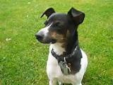 Image detail for -el fox terrier chileno es la primera raza canina chilena seguida del ...