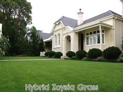 100% Hybrid Zoysia Grass Seed...drought tolerant grass that grows in sun or shade and is SOFT! It also grows so thick it chokes out ALL weeds over time.
