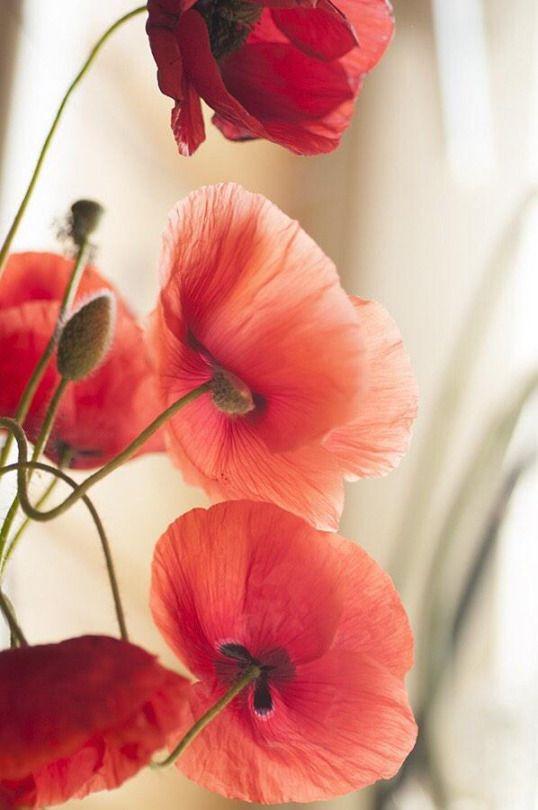 Poppies #Flores#natureja#jardim