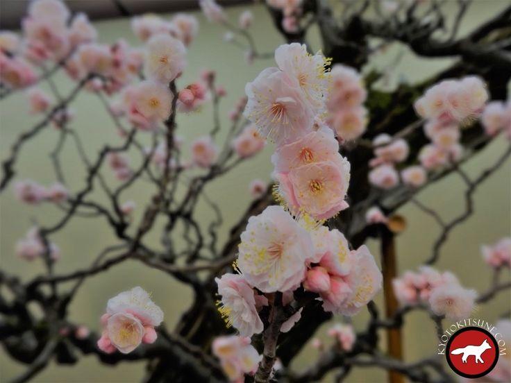 Prunier en fleur à Kyoto Plum blossom in Kyoto