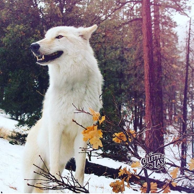 @projectwildsong by @collettelash #photography #shoutout - SAVE THE WOLVES