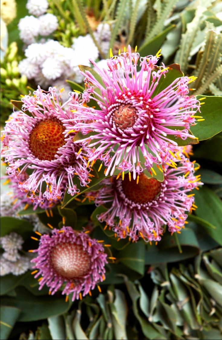 Isopogon, drumstick flower - Available Aug-Sept. Like a pompom or catherine wheel, this pink native Australian flower looks pretty in all kinds of spring bouquets