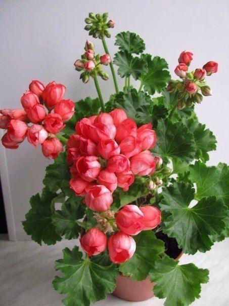 Необыкновенной красоты Герань тюльпановидная !